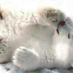 У Харківському зоопарку народився білий ведмідь-альбінос