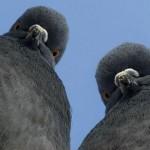 На Вінниччині тренують бойових голубів