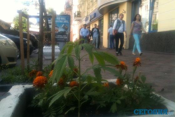Конопля у центрі Києва