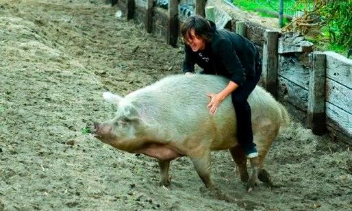 В'ючна свиня
