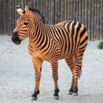 У Київському зоопарку зебру розфарбували у колір георгіївської стрічки